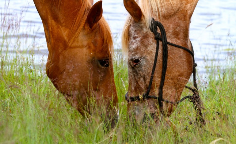 ApHCF (Appaloosa Horse Club de France)