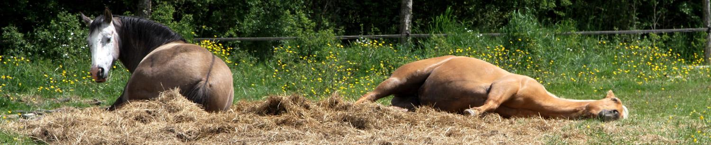 Dans ma prairie, Saffir First Water et Goldy Woody Whiz (chevaux de balades sporadiques), ne semblent guère stressés.  © Marc Bainaud