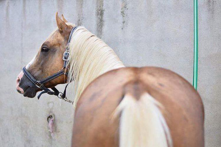 Wimpys Little Sultan (Wimpys Little Step x PG Little Jewel) est l'étalon du ranch et disponible à la saillie.