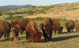 Vos rendez-vous avec les bisons des Randals