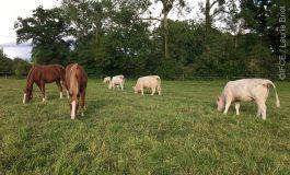 Equins et bovins dans la même pâture, quels bénéfices ?