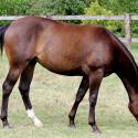 Vends Paint Horse