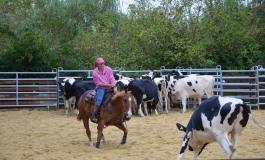 Travail du bétail à cheval en Normandie