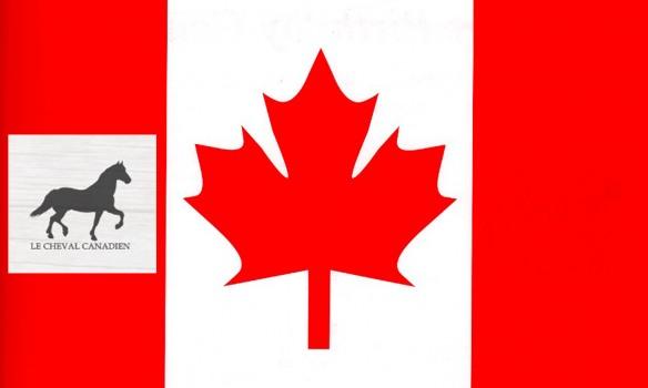 Le Cheval Canadien, héros d'un film en cours de tournage