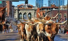 Quand bétail et cowboys arrivent en ville… c'est à Denver