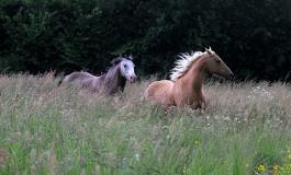 Eleveurs de chevaux américains, des chiffres qui vous concernent…