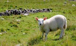 Et si la France organisait le championnat du monde de tonte de moutons en Limousin ?