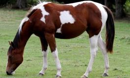 Histoire (colorée) du Paint Horse