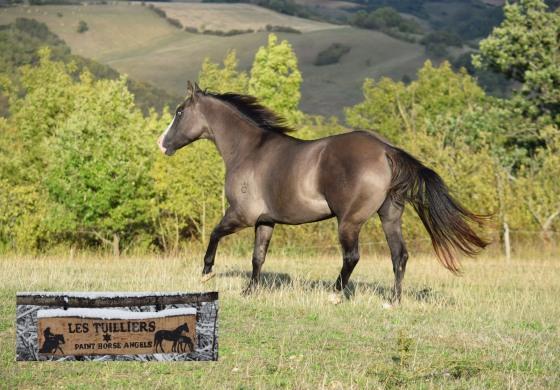 L'Ariège, terre de chevaux western
