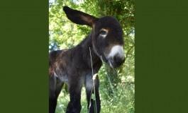 Un bébé Baudet du Poitou né dans son berceau !
